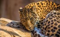 عکس نگاه نافذ یوزپلنگ