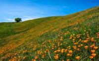 دشت گل نارنجی کالیفرنیا