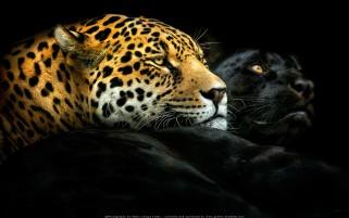 عکس چیتا ها