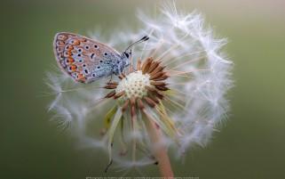 عکس پروانه و قاصدک زیبا و باکیفیت بالا