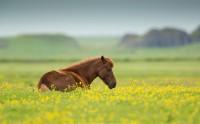 عکس اسب ایسلندی