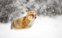 عکس زیبا روباه قرمز در برف و کیفیت بالا با کیفیت فول اچی دی گالری عکس حیوانات