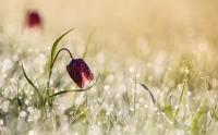 عکس زیبا و حس برانگیز از گل لاله خاص بعد از باران