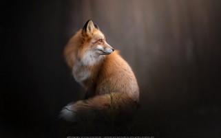 عکس زیبا و کیفیت بالا از روباه قرمز