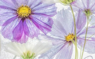 عکس زیبای گل بنفش