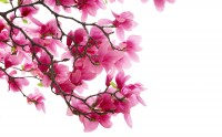 عکس زیبای شکوفه بهاری