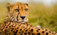 عکس زیبا از یوزپلنگ