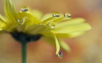 عکس شبنم قطره های اب روی گل زرد