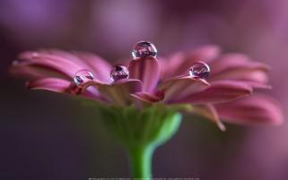 شبنم باران روی گل