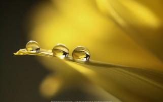 عکس زیبا از قطره ها و شبنم روی گل زرد