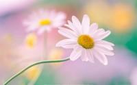 عکس گل رویایی صورتی