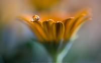 عکس یک گل در یک قطره