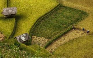 عکس زیبا از مزرعه برنج