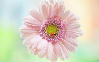 عکس گل صورتی و خانم کفشدوزک از گالری عکس حشرات کیفیت HD
