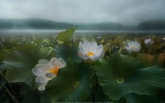 عکس مه مرداب و گل نیلوفر آبی با کیفیت فول اچ دی