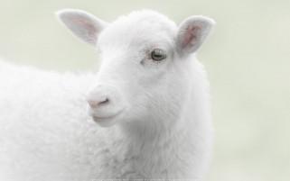 عکس زیبا و با کیفیت بالا از گوسفند سفید بامزه