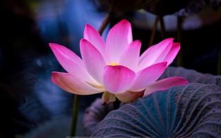 عکس گل زیبای نیلوفر آبی گل مرداب