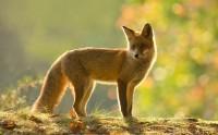 روباه قرمز