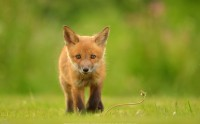 عکس کیفیت بالا HDطوله روباه قرمز