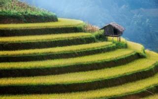 عکس مزرعه شالیکاری برنج