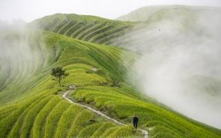 مزرعه برنج در مه
