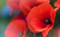 گل شقایق گالری عکس گل
