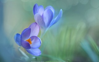 عکس گل بنفش