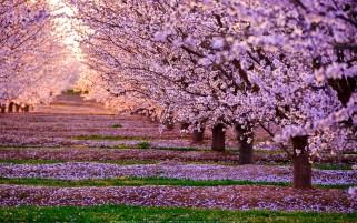 عکس شکوفه های بهاری باغ سیب
