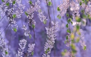 عکس زیبای شکوفه های بهاری با زیمنه بنفش یاسی رنگ