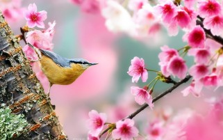 عکس پرنده و شکوفه های بهاری