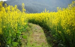 عکس زیبا از دشت گل و مزرعه گل های زرد بهاری