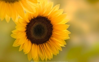 عکس زیبا گل آفتاب گردان