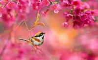 عکس زیبا از پرنده در شکوفه های بهاری