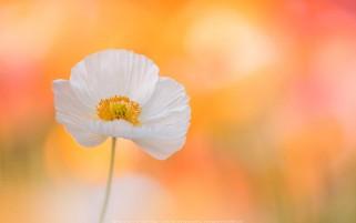 عکس کیفیت بالا گل سفید در زمینه نارنجی