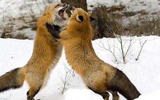 جنگ روبا ها