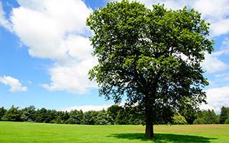 تک درخت سبز