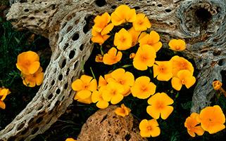 گل های پاپی طلایی،آریزنا