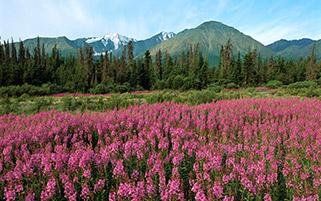 دشت گل های صورتی،کانادا
