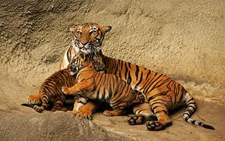 ببر و بچه هایش در باغ وحش