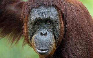 شمپانزه مهربان