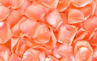 گلبرگ های رز صورتی