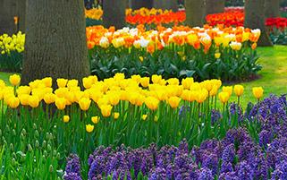باغ گل های لاله،هلند