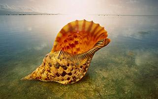 صدف تریتون،استرالیا