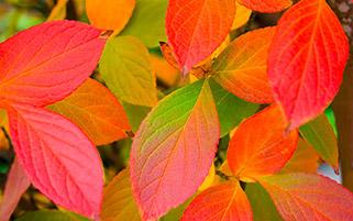 برگ های قرمز،آغاز پاییز