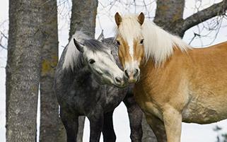 اسب های زیبا