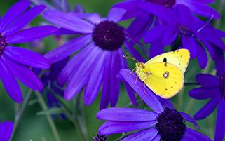 پروانه زرد،گل های بنفش
