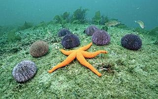 ستاره دریایی،اسپانیا