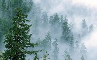 مه میان کاج ها،واشنگتن