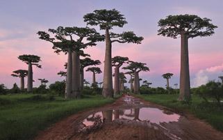 درختان استوایی باوباب،ماداگاسکار