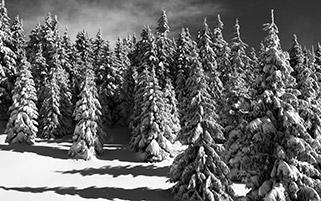 کاج های پوشیده از برف